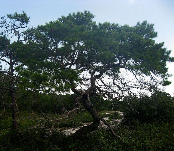 pinus_clausa-sand-pine-in-florida-scrub-habitat-in-st-joseph-peninsula-state-park-gulf-county-florida