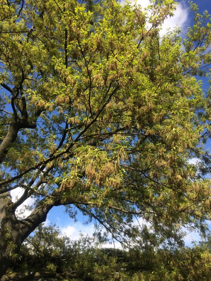 2017-04-01 17.13.48 Quercus castaneifolia