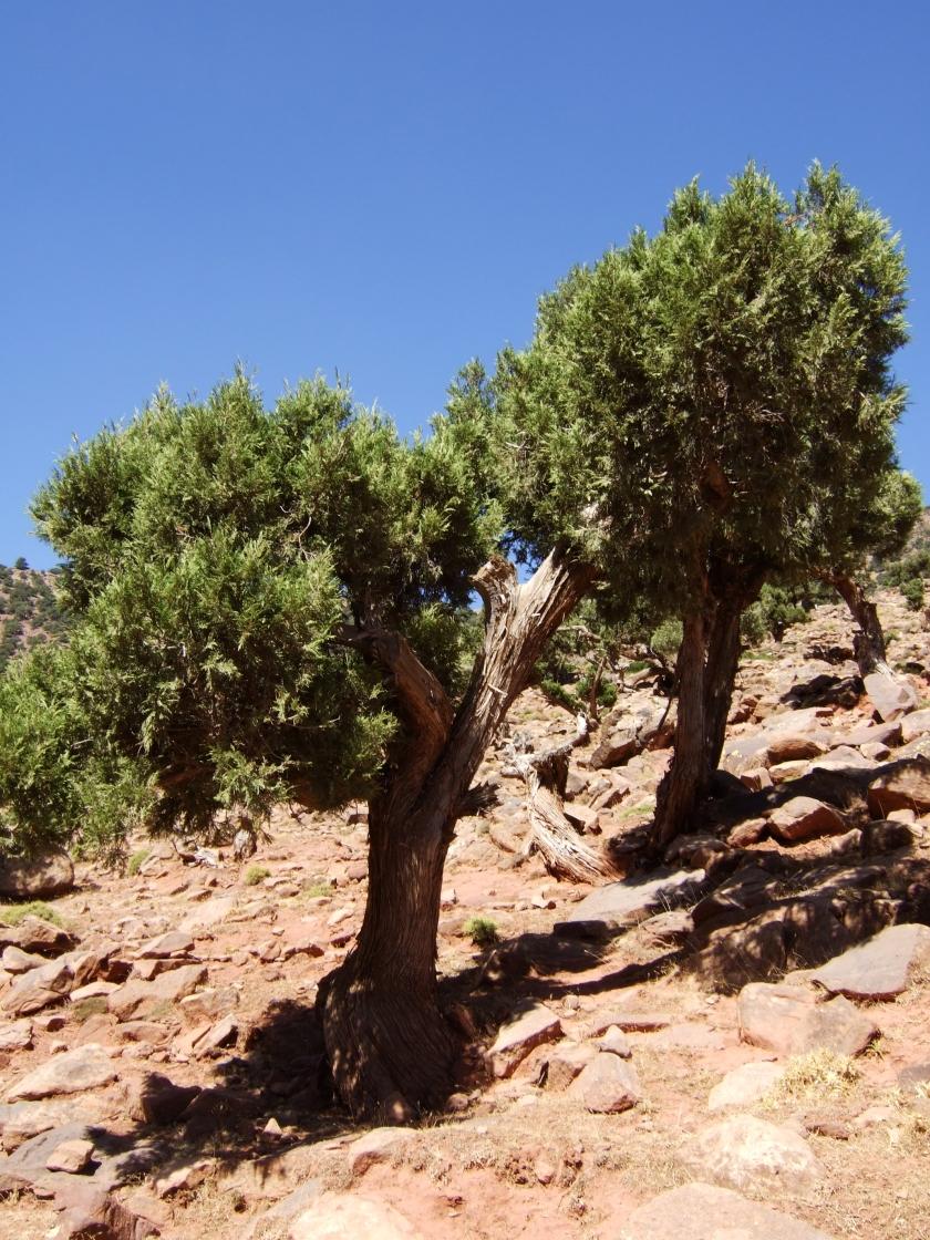 Juniperus_thurifera_africana_Imlil_3