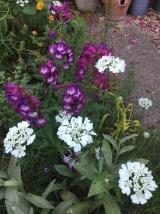 Orleya grandiflora and penstemon