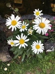Leucanthemum superba Snow Lady