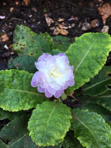 Primula bellarina Pink Ice