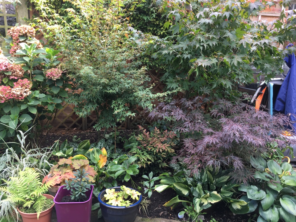 Acer Katsura squeezed between Osakazuki and the hydrangea
